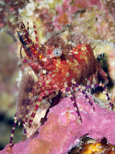 """Marbled Shrimp""